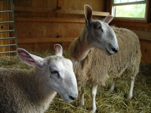 DR-GRF Two Sheep in the barn