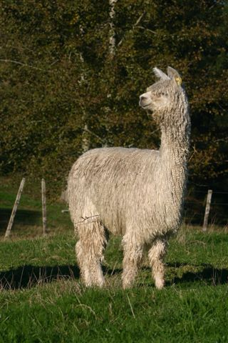 alpaca of sweden