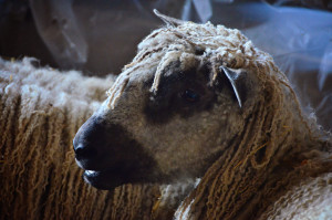 American Teeswater Sheep