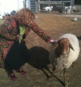 With Tunis Sheep