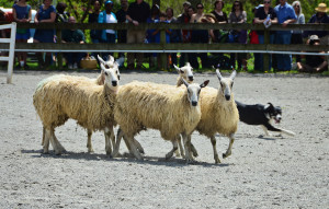 Sheep Herding demo 10 w