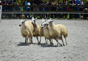 Sheep Herding demo 11 w