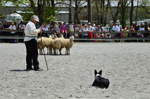 Sheep Herding demo 12 w
