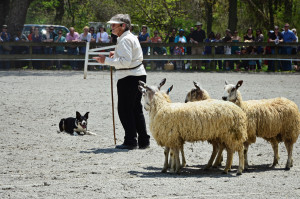 Sheep Herding demo 9 w