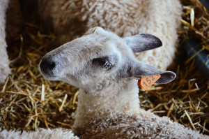 Bluefaced Leicester Lamb